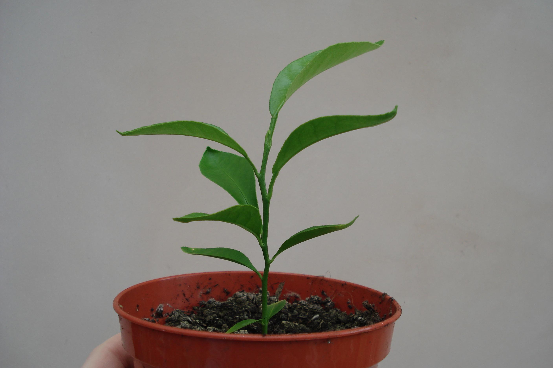 Как вырастить мандарин из косточки в домашних условиях 36