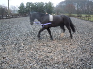 A picture from our pre-saddle owning lunging sessions.