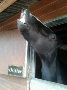 Flehmen response in the old stable