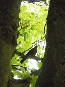 The same thrush a few minutes later and several meters higher up!