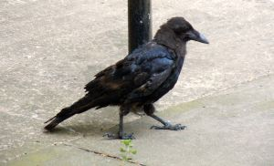 Unnamed crow fledgling from another nest